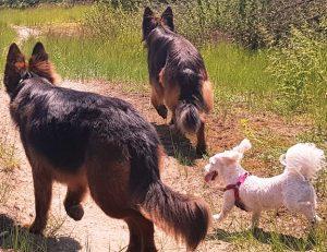 wandeling maltezer met duitse herders